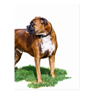 Two Year Old Boxer Postcard