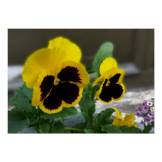 two yellow pansies poster
