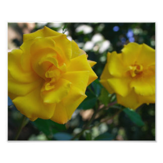Two Yellow Roses with Leaves - flower photography Art Photo