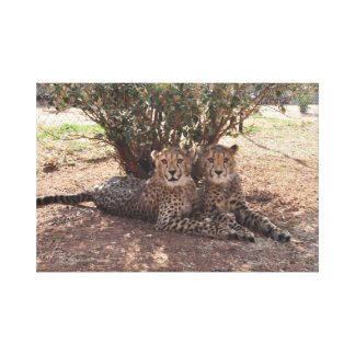 Two young Cheetahs Canvas Print