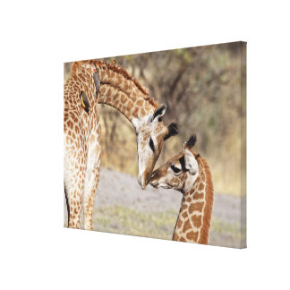 Two Young Giraffes Stretched Canvas Print
