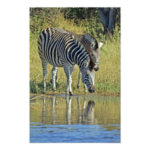 TWO ZEBRAS AT WATER'S EDGE PHOTOGRAPH