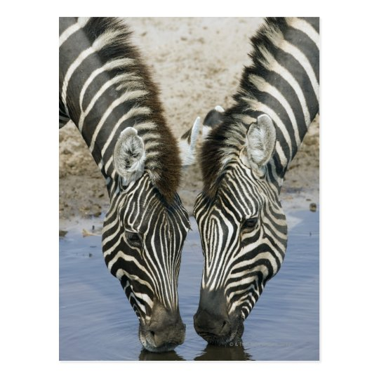 Two Zebras (Equus quagga) drinking water, Postcard