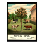 Typical Cows Postcard