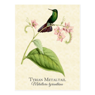 Tyrian Metal Tail Hummingbird Vintage Art Postcard