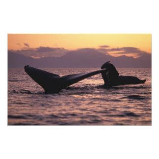 U.S.A., Alaska, Inside Passage Humpback whales Photograph