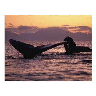 U.S.A., Alaska, Inside Passage Humpback whales Postcard