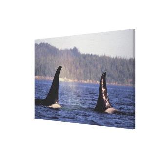U.S.A., Alaska, Inside Passage Surfacing Orca Canvas Print