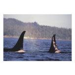 U.S.A., Alaska, Inside Passage Surfacing Orca Art Photo