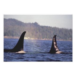 U.S.A., Alaska, Inside Passage Surfacing Orca Photo Print