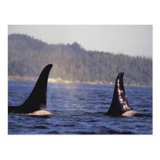 U.S.A., Alaska, Inside Passage Surfacing Orca Postcard