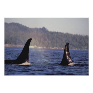 U.S.A., Alaska, Inside Passage Surfacing Orca Poster