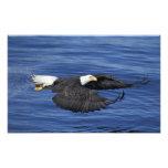 U.S.A., Alaska, Kenai Peninsula Bald eagle Photograph