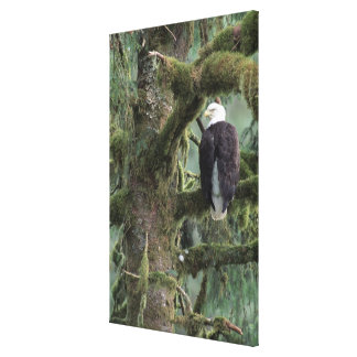 U.S.A., Alaska, Southeast Alaska Bald eagle Canvas Print