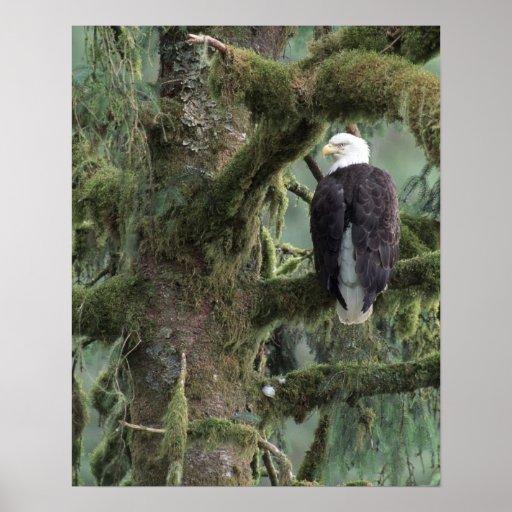 U.S.A., Alaska, Southeast Alaska Bald eagle Poster