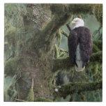 U.S.A., Alaska, Southeast Alaska Bald eagle Tile
