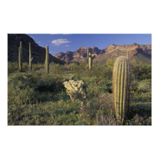 U.S.A., Arizona, Organ Pipe National Monument. Photo Print