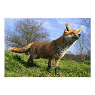 UK, England. Red Fox Vulpes vulpes) in Art Photo