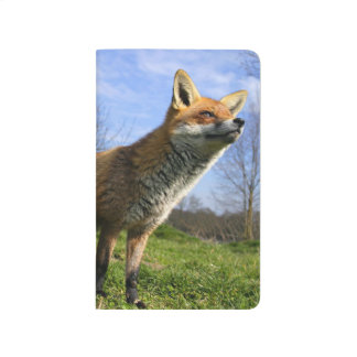 UK, England. Red Fox Vulpes vulpes) in Journals