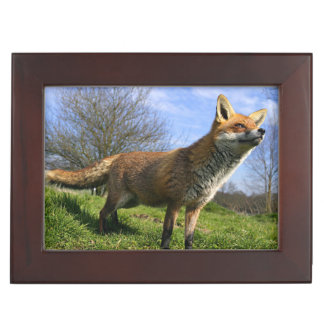 UK, England. Red Fox Vulpes vulpes) in Keepsake Box