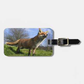 UK, England. Red Fox Vulpes vulpes) in Luggage Tag
