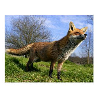 UK, England. Red Fox Vulpes vulpes) in Postcard
