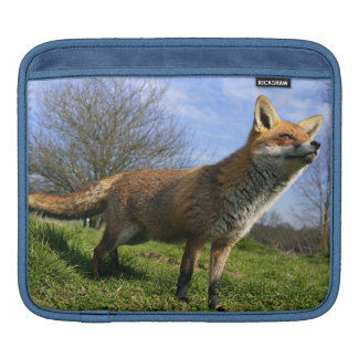 UK, England. Red Fox Vulpes vulpes) in Sleeves For iPads