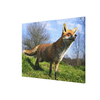 UK, England. Red Fox Vulpes vulpes) in Stretched Canvas Print