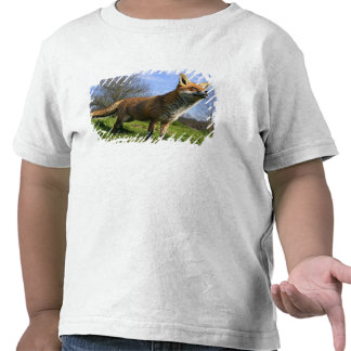 UK, England. Red Fox Vulpes vulpes) in Shirts
