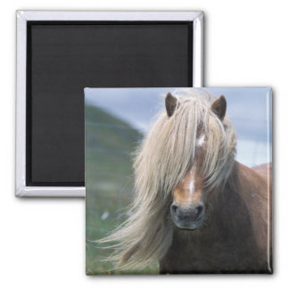 UK, Scotland, Shetland Islands, Shetland pony Magnet