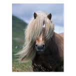 UK, Scotland, Shetland Islands, Shetland pony Post Card