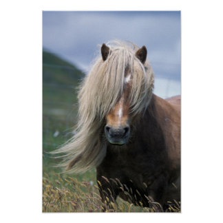 UK, Scotland, Shetland Islands, Shetland pony Poster