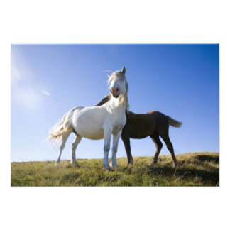 UK, Wales, Brecon Beacons NP. Wild Pony Photo Print