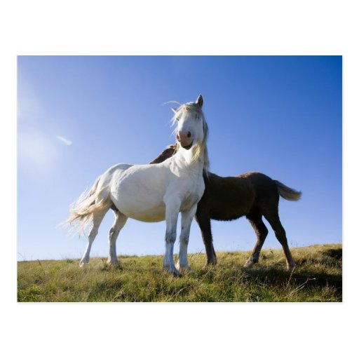 UK, Wales, Brecon Beacons NP. Wild Pony Postcard