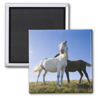 UK, Wales, Brecon Beacons NP. Wild Pony Square Magnet