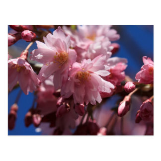 Ultimate Spring Greetings: Pink Cherry Blossoms Postcard