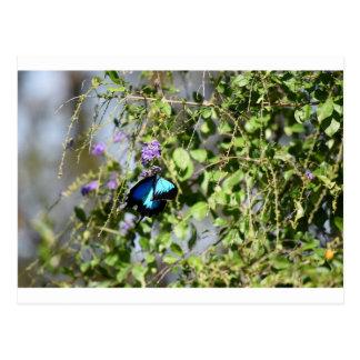 ULYSSES BLUE BUTTERFLY QUEENSLAND AUSTRALIA POSTCARD