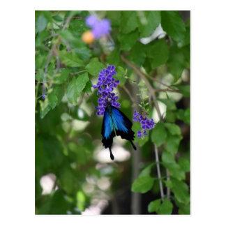 ULYSSES BLUE BUTTERFLY RURAL QUEENSLAND AUSTRALIA POSTCARD