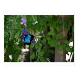 ULYSSES BUTTERFLY RURAL QUEENSLAND AUSTRALIA POSTCARD