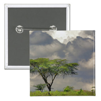Umbrella Thorn Acacia, Acacia tortilis, and 2 15 Cm Square Badge