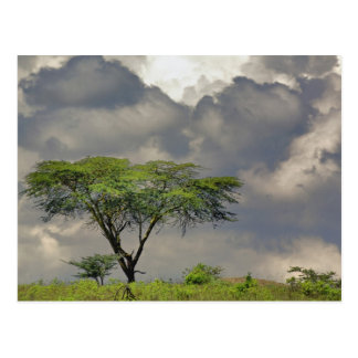 Umbrella Thorn Acacia, Acacia tortilis, and 2 Postcard
