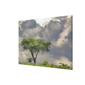 Umbrella Thorn Acacia, Acacia tortilis, and Canvas Print