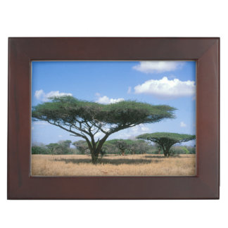 Umbrella Thorn Acacia (Acacia tortilis), Mkuze Keepsake Box