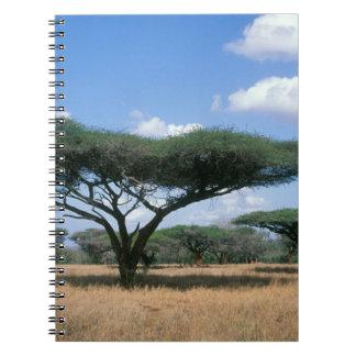 Umbrella Thorn Acacia (Acacia tortilis), Mkuze Notebooks