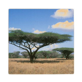 Umbrella Thorn Acacia (Acacia tortilis), Mkuze Wood Coaster