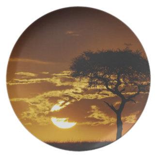 Umbrella Thorn Acacia, Acacia tortilis, Plate