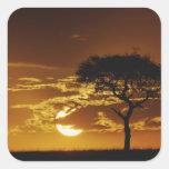Umbrella Thorn Acacia, Acacia tortilis, Sticker
