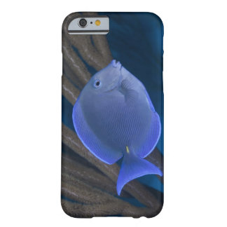 Underwater life: Acanthurus coeruleus with sea Barely There iPhone 6 Case