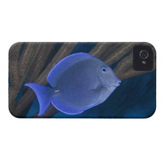 Underwater life: Acanthurus coeruleus with sea Case-Mate iPhone 4 Case