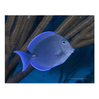 Underwater life: Acanthurus coeruleus with sea Postcard